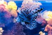 Venomous Red lionfish — Stockfoto