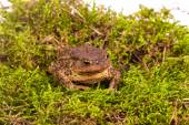 Toad on moss — Stock Photo