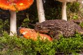 Toad on amanita — Stock Photo