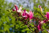Magnolia tree blossom — Stock fotografie