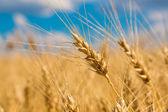 Область пшеницы — Стоковое фото