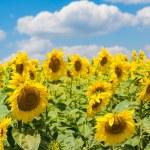 Sunflower field — Stock Photo #56858855