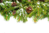 Pine border with canes — Stock Photo