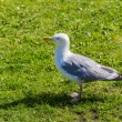 Gull on a grass — Stock Photo #59525045