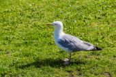 Gull on a grass — Stock Photo