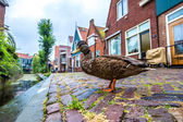 Duck and traditional houses in Holland — Stock Photo