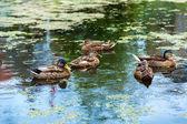 Ducks on water in lake — ストック写真