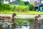 Ducks on water in lake — Stock Photo