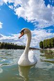 Mute Swan on a lake — Stock Photo