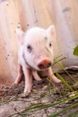 Cute muddy piglet — Stock Photo