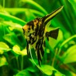 Tropical fish  pterophyllum scalare — Stock Photo #69333573