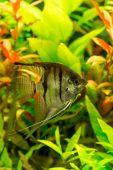 Tropical fish  pterophyllum scalare — Stock Photo