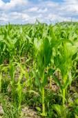 Green corn field — Stock Photo