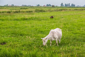 White goat on grass — Stock Photo
