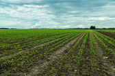 Field of red beet — Stock Photo