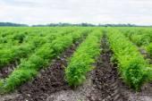 Carrots growing on   field — Stock Photo
