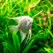 Tropical fish pterophyllum scalare — Stock Photo #81288674