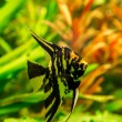 Tropical fish PTEROPHYLLUM SCALARE — Stock Photo #82705380