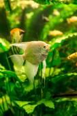 Aquarium with fish pterophyllum scalare — Stock Photo