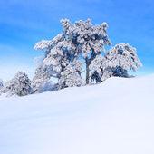Snow-covered pine tree — Stock Photo