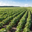 Rows of young soybean plants — Stock Photo #61299637