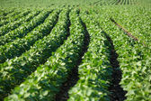 Rows of young soybean plants  — Stock Photo