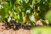 Grapes on a vineyard — Stock Photo