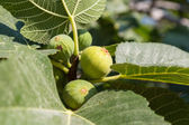 Ripe green fig — Stock Photo