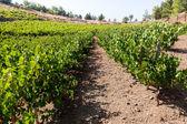Grapes and vineyard — Stock Photo