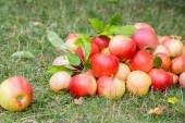 A bunch of ripe apples on a grass — Stock Photo