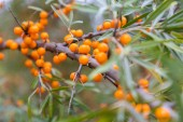Sea buckthorn branch — Stock Photo