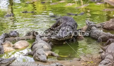 Mating big crocodiles — Video Stock