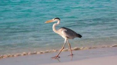 Grey Chiron on the beach. — Vídeo de stock