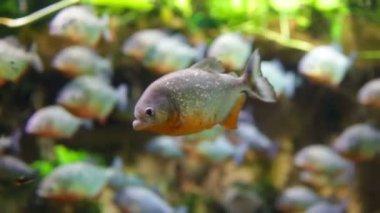 Piranha - Colossoma macropomum — Stock Video