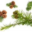 Fir branches with cones — Stock Photo #58755263