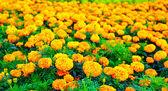 Měsíčku květiny pole — 图库照片