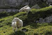Sheeps grazing on the rocks. — Stock Photo
