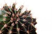 Cactus, succulent  — 图库照片