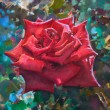 Beautiful red rose — Stock Photo #58334819