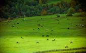 Alpine pastures and cows — Stock Photo