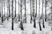 Birch in winter — Stock Photo