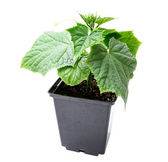 Cucumber seedling in a pot isolated on a white background — Stock Photo