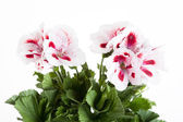 Flowers of a two-color geranium — Foto Stock