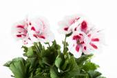 Flowers of a two-color geranium — Stockfoto