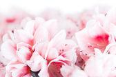 Blossoming azalea — Stock Photo
