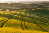 Field of wheat,Tuscany. Italy — Stock Photo