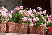 Blossoming geranium — Stock Photo