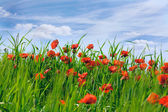 Blossoming poppies in the field — Stock Photo