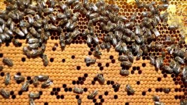 Frame with bees honeycombs — Stock Video