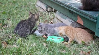 Kittens eating  forage — Stock Video
